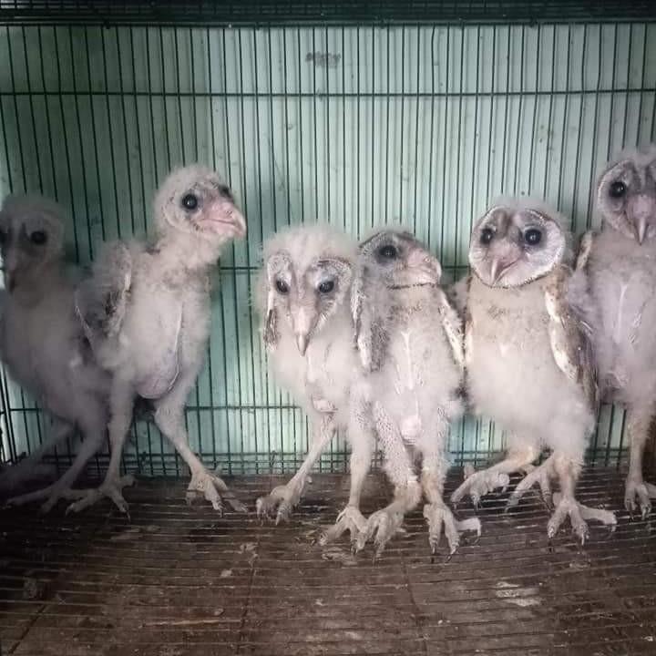 BARN OWL ANAKAN
