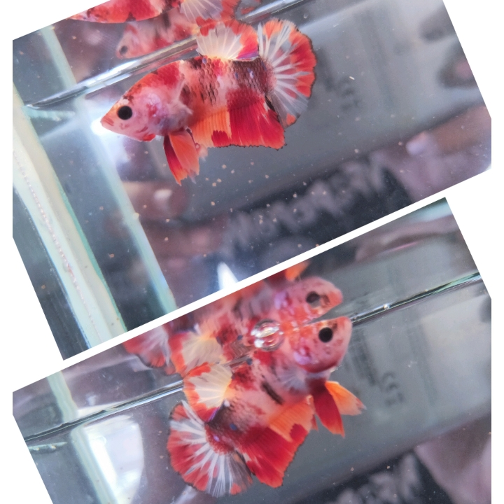 Ikan Cupang Emerald Nemo