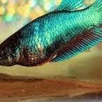 Ikan Cupang Halfmoon Green Betina