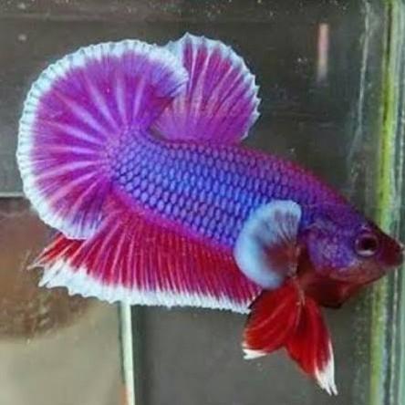 Ikan Cupang Jantan Halfmoon Plakat