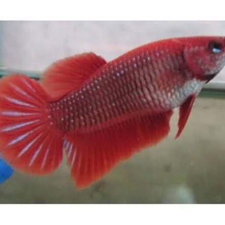 Ikan Cupang Red Halfmoon