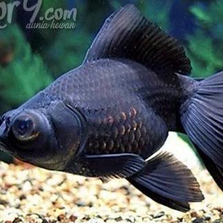 Ikan Mas Koki Black Ekot Cadar