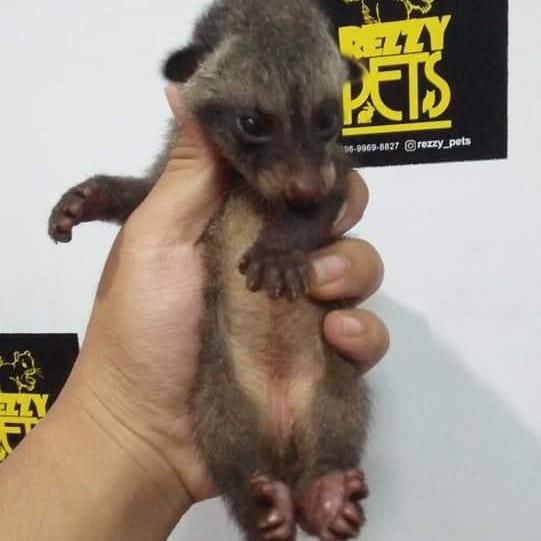 MUSANG PANDAN BABY